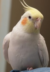 Kenny the Cockatiel