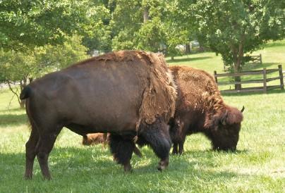 Thumbnail image for buffalo-1.jpg